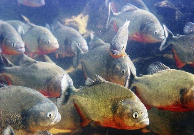 Đối diện trực tiếp với hai sát thủ rừng xanh: Trăn khổng lồ và cá ăn thịt - 2