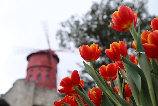 Một triệu bông tulip khoe sắc trên đỉnh Bà Nà - Ảnh 3.