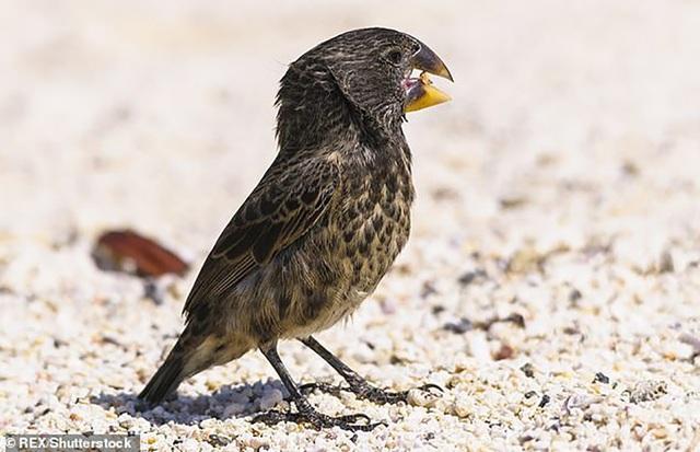 Loài chim sẻ có sức cắn mạnh gấp… 320 lần so với khủng long bạo chúa - Ảnh 1.