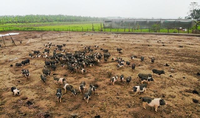 Đàn lợn hương 500 con chuẩn bị Tết của đôi vợ chồng nông dân Hà Nam - Ảnh 2.