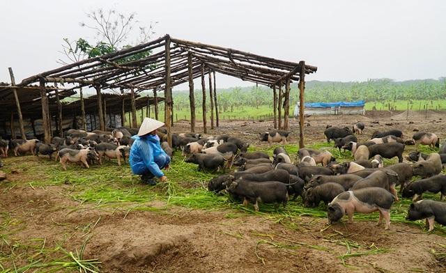 Đàn lợn hương 500 con chuẩn bị Tết của đôi vợ chồng nông dân Hà Nam - Ảnh 3.