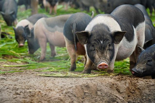 Đàn lợn hương 500 con chuẩn bị Tết của đôi vợ chồng nông dân Hà Nam - Ảnh 4.