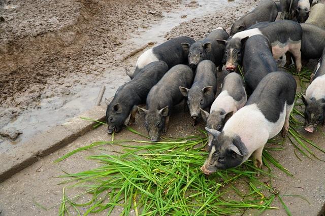 Đàn lợn hương 500 con chuẩn bị Tết của đôi vợ chồng nông dân Hà Nam - Ảnh 5.