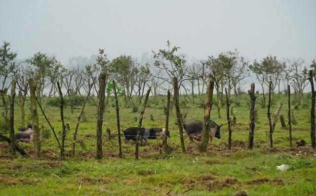 Đàn lợn hương 500 con chuẩn bị Tết của đôi vợ chồng nông dân Hà Nam - Ảnh 7.