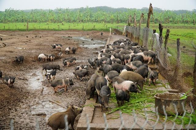 Đàn lợn hương 500 con chuẩn bị Tết của đôi vợ chồng nông dân Hà Nam - Ảnh 8.