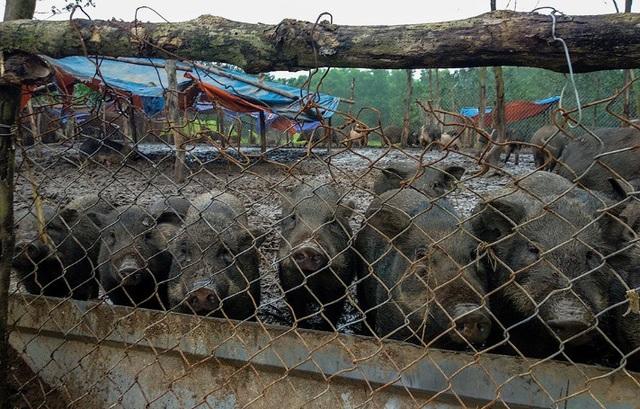 Đàn lợn hương 500 con chuẩn bị Tết của đôi vợ chồng nông dân Hà Nam - Ảnh 9.