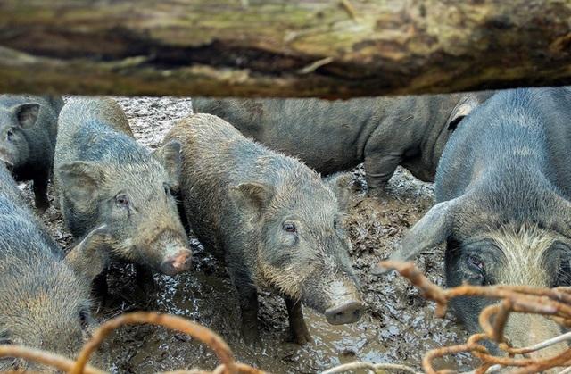 Đàn lợn hương 500 con chuẩn bị Tết của đôi vợ chồng nông dân Hà Nam - Ảnh 10.