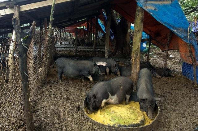 Đàn lợn hương 500 con chuẩn bị Tết của đôi vợ chồng nông dân Hà Nam - Ảnh 11.