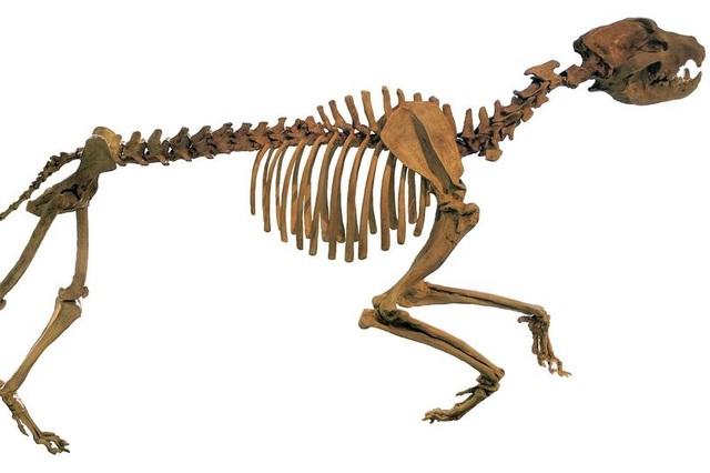 Chó tiền sử to bằng gấu xám Bắc Mỹ săn mồi bằng cách nào? - Ảnh 1.