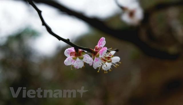 Sắc trắng hoa mơ, hoa mận níu chân du khách khi đến Mộc Châu - Ảnh 2.