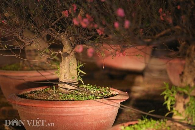 Trùm chăn thâu đêm trông đào, quất lộ thiên ở Hà Nội - Ảnh 4.