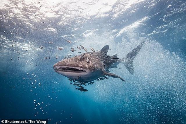 """Khả năng """"nhịn đói"""" kì lạ của cá mập voi - Ảnh 1."""