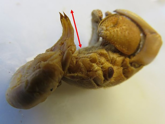 Ốc mượn hồn tiến hóa cơ quan sinh dục dài hơn để bảo vệ nhà - Ảnh 1.