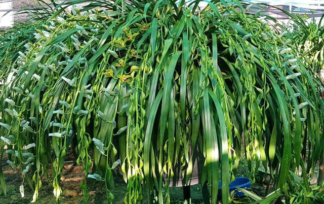 Khu vườn huyền thoại ở Lào Cai, mỗi năm chỉ thu 1 lần 20 tỷ đồng - Ảnh 4.
