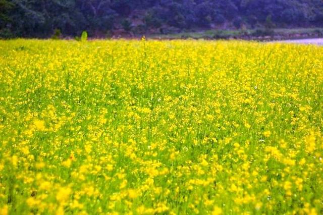 Vườn cải vàng bạt ngàn từ bờ sông đến chân núi đang đua nhau khoe sắc ở Thung Nham những ngày qua.