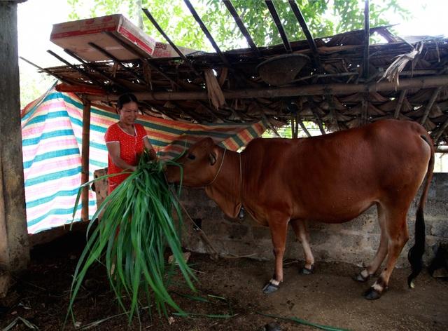 Bò giống của chị Lương Thị Thái được Viettel tặng đã có chửa 6 tháng và tháng 3/2019 sẽ cho thêm một con bê.