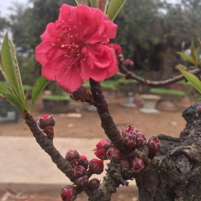 Sắc hoa thắm, cánh dày và bông nở to là đặc trưng riêng của loại đào Thất Thốn.