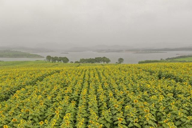 Mãn nhãn ngắm cánh đồng triệu bông hoa hướng dương bung nở ở Nghệ An - 1