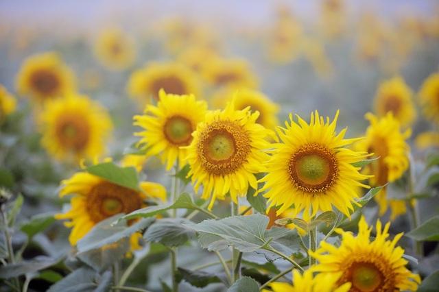 Cả triệu bông hoa trên cánh đồng đang ngậm những giọt sương, giọt nắng để sẵn sàng bung nở phủ một màu vàng rực sáng cả một khoảng trời chạy thẳng xuống khu vực hồ sông Sào.