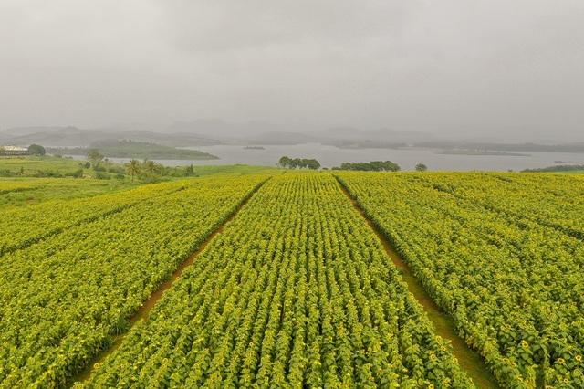 Từ trên cao nhìn xuống, cánh đồng hoa hướng dương trải dài bát ngát đến tận con sông Sào khiến cho nơi đây như một bức tranh thơ mộng.