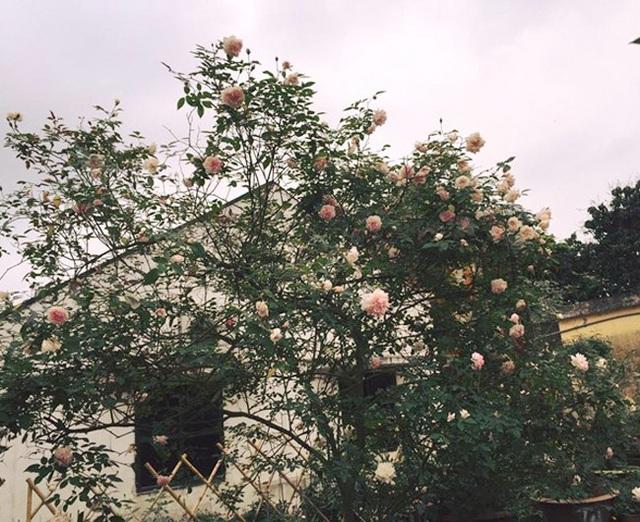 Những gốc hoa hồng cổ siêu đắt đỏ của đại gia Việt - Ảnh 1.