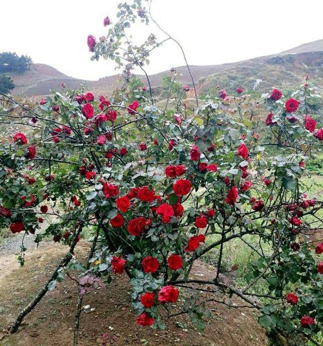 Những gốc hoa hồng cổ siêu đắt đỏ của đại gia Việt - Ảnh 2.