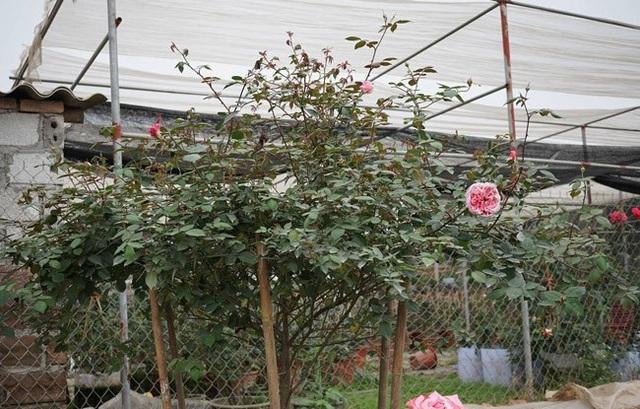 Những gốc hoa hồng cổ siêu đắt đỏ của đại gia Việt - Ảnh 11.