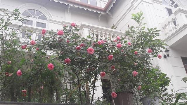 Những gốc hoa hồng cổ siêu đắt đỏ của đại gia Việt - Ảnh 12.