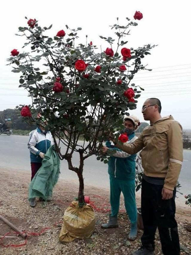 Những gốc hoa hồng cổ siêu đắt đỏ của đại gia Việt - Ảnh 13.