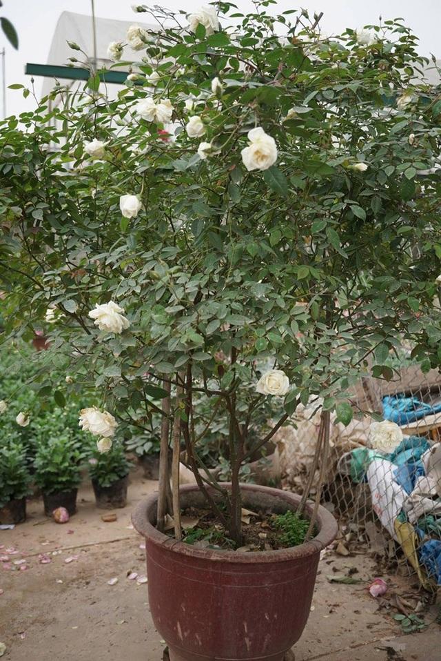 Những gốc hoa hồng cổ siêu đắt đỏ của đại gia Việt - Ảnh 14.