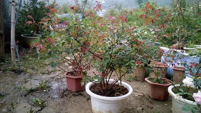 Những gốc hoa hồng cổ siêu đắt đỏ của đại gia Việt - Ảnh 15.