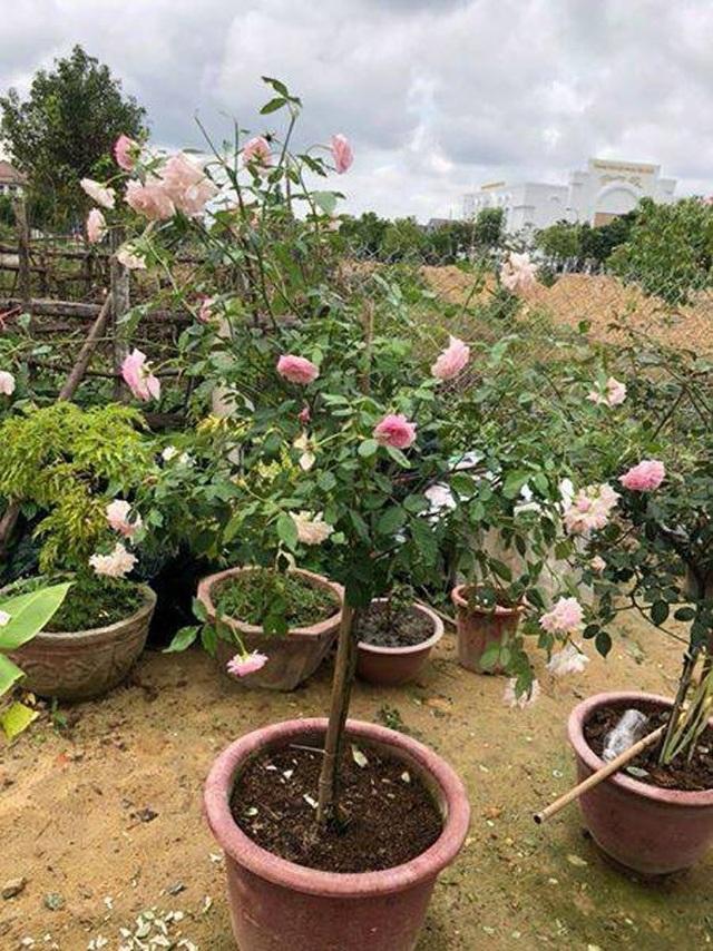 Những gốc hoa hồng cổ siêu đắt đỏ của đại gia Việt - Ảnh 16.