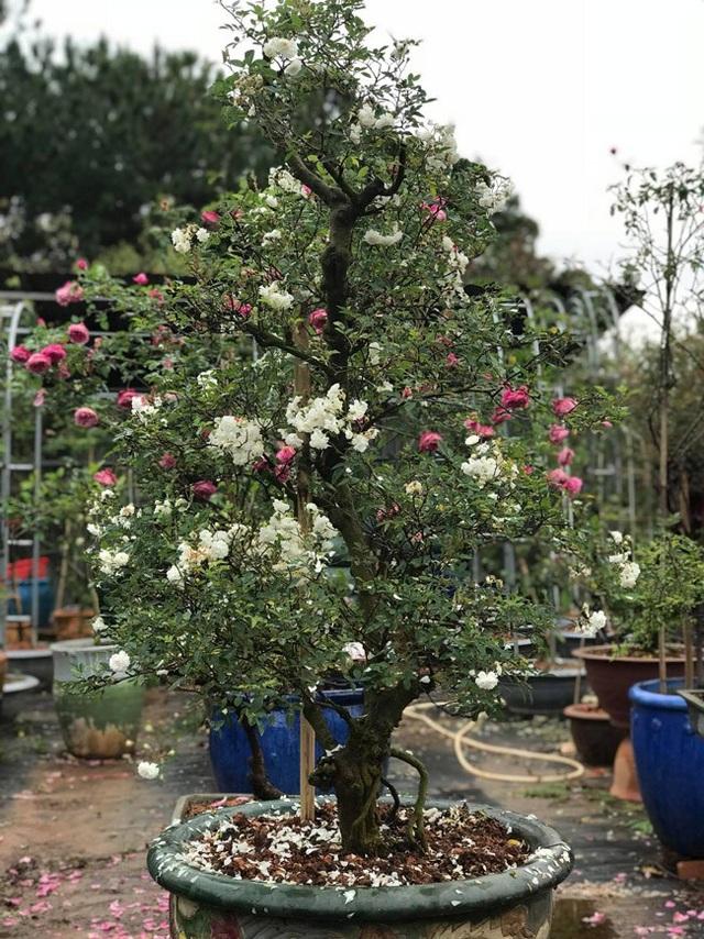 Những gốc hoa hồng cổ siêu đắt đỏ của đại gia Việt - Ảnh 17.