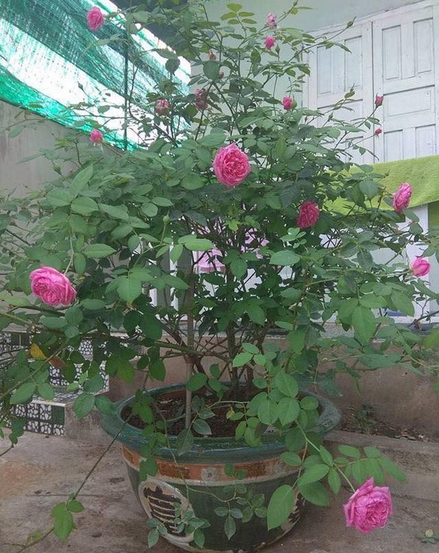 Những gốc hoa hồng cổ siêu đắt đỏ của đại gia Việt - Ảnh 3.