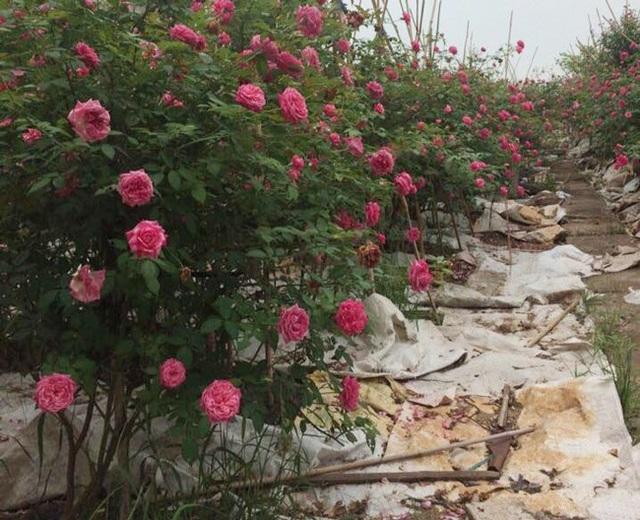 Những gốc hoa hồng cổ siêu đắt đỏ của đại gia Việt - Ảnh 4.