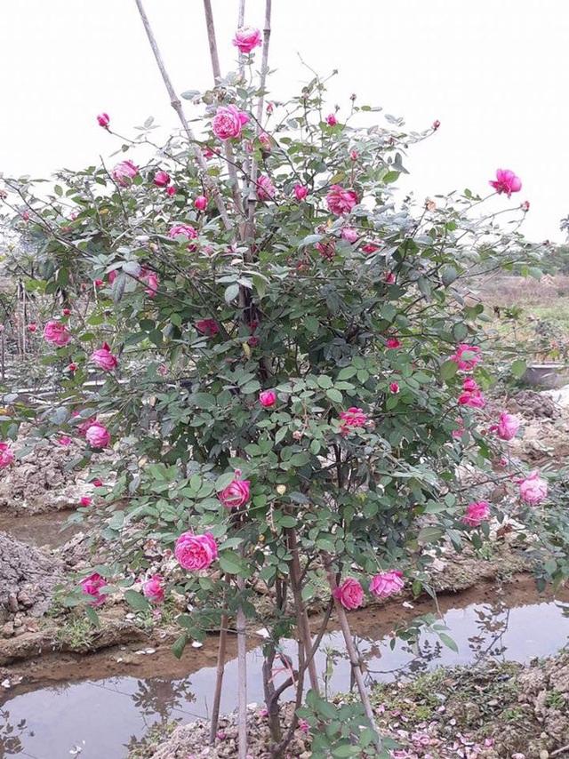 Những gốc hoa hồng cổ siêu đắt đỏ của đại gia Việt - Ảnh 5.