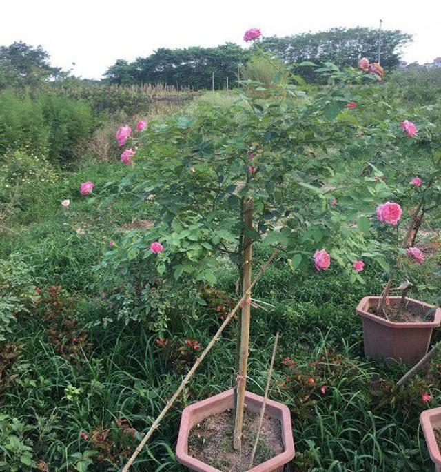 Những gốc hoa hồng cổ siêu đắt đỏ của đại gia Việt - Ảnh 6.