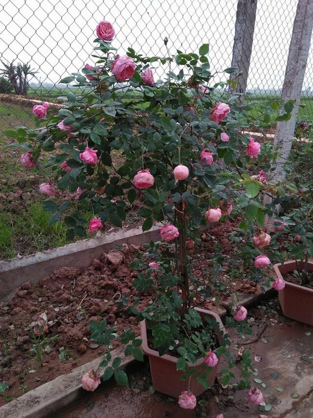 Những gốc hoa hồng cổ siêu đắt đỏ của đại gia Việt - Ảnh 7.
