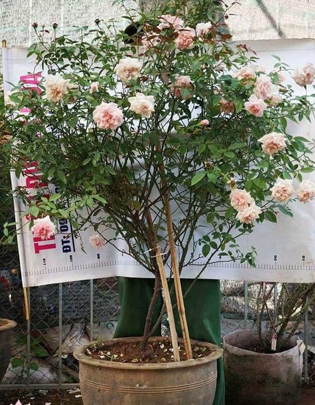 Những gốc hoa hồng cổ siêu đắt đỏ của đại gia Việt - Ảnh 9.