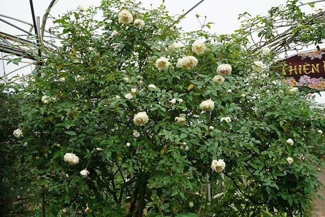 Những gốc hoa hồng cổ siêu đắt đỏ của đại gia Việt - Ảnh 10.
