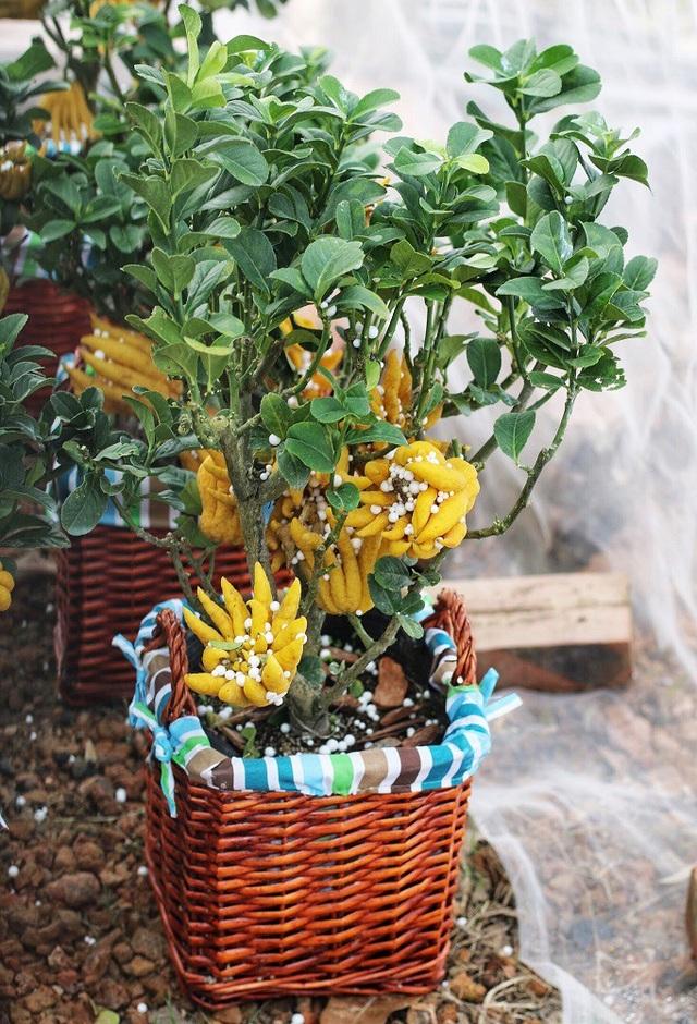 Chiều cao từ 60 – 80cm, phật thủ mini có thân cây nhỏ, thế đẹp và đặc biệt cho rất nhiều quả thật trên một cây.