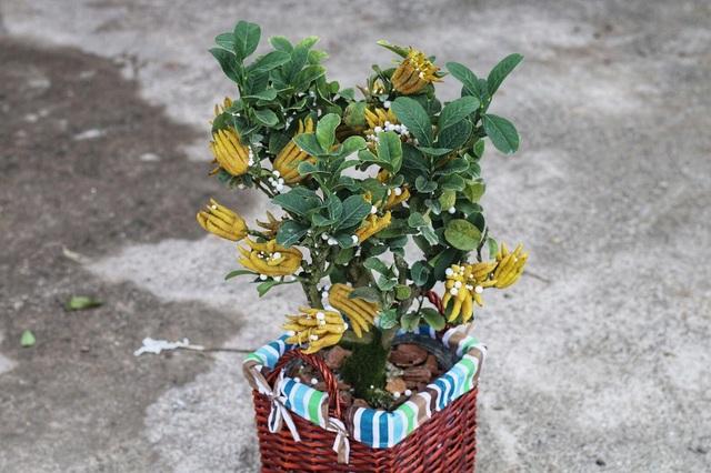 Một cây phật thủ đặc biệt đậu được hơn 20 quả trên cây.