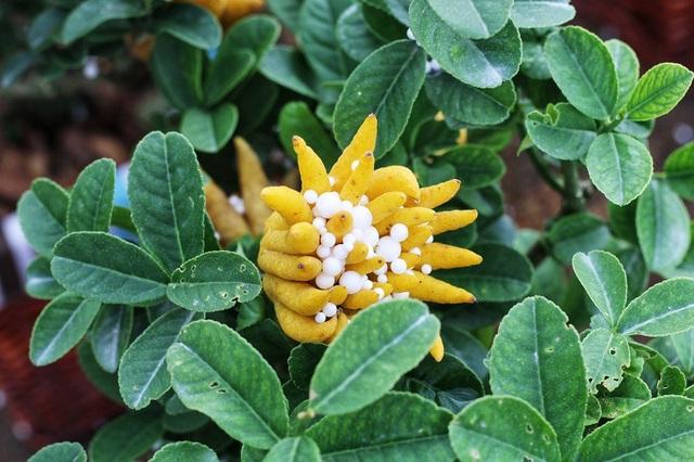 Không chỉ cho số lượng nhiều, quả phật thủ mini cũng được chọn lọc kỹ lưỡng với nhiều quả đẹp: Quả có nhiều tay, các ngón tay tỏa ra xếp thành vòng tròn như hình bông hoa.
