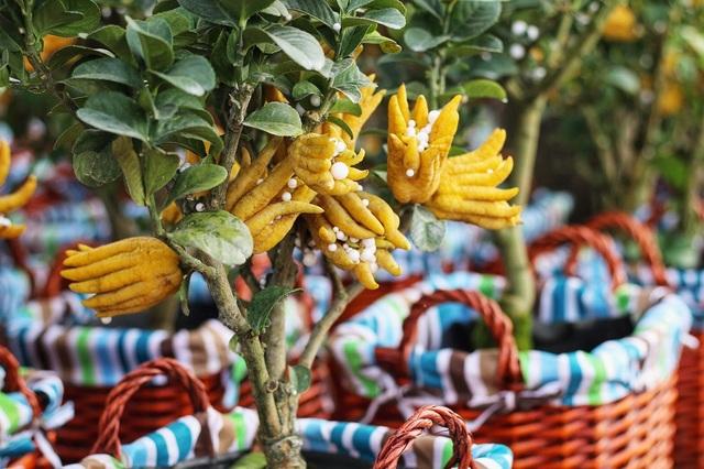 Dựa vào số lượng, chất lượng các quả trên cây cùng với đặc điểm về thế, cành lá,… chủ vườn từ đó sẽ quy định giá thành. Thời điểm hiện tại, phật thủ mini mua tại vườn có giá dao động từ 2,5 triệu đến 4,5 triệu/cây.