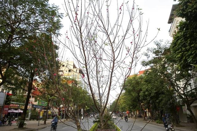 Con đường hoa đào nở đỏ rực ở Hà Nội báo hiệu Tết đã cận kề - Ảnh 11.