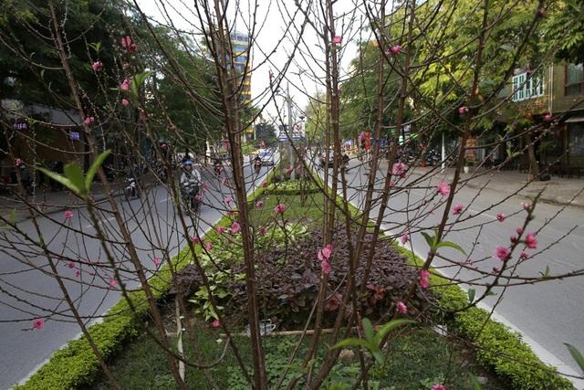 Con đường hoa đào nở đỏ rực ở Hà Nội báo hiệu Tết đã cận kề - Ảnh 2.