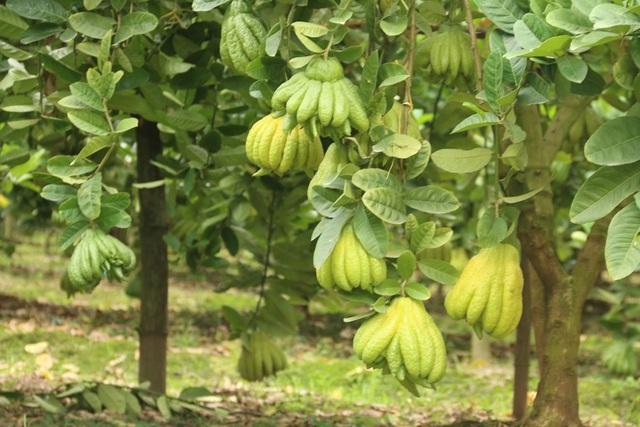 Việc trồng cây phật thủ một năm sẽ cho thu hoạch hai vụ chính là vào tháng 7 và Tết Âm lịch. Những ngày cận tết một nhà vườn có thể bán ra hàng nghìn quả.