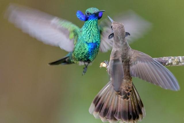 Loài chim ruồi hiện vẫn đang tiến hóa có răng trong… mỏ - Ảnh 1.