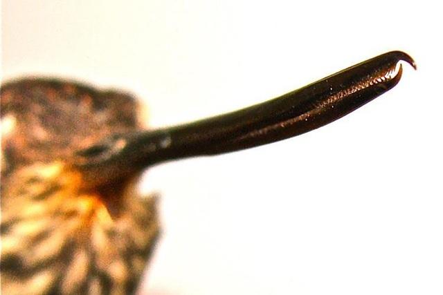 Loài chim ruồi hiện vẫn đang tiến hóa có răng trong… mỏ - Ảnh 2.