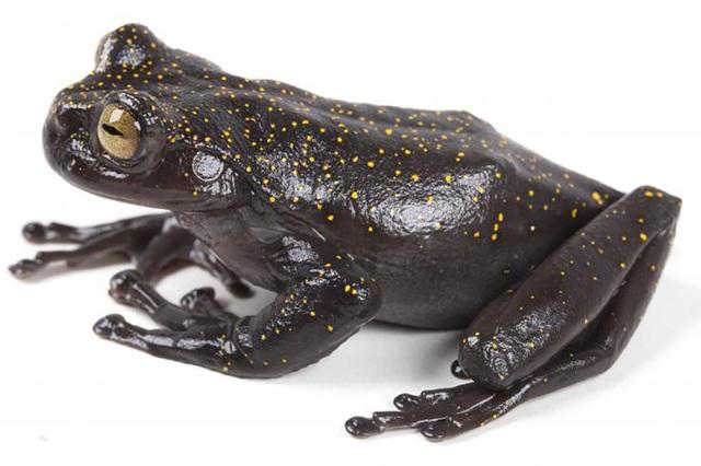 Phát hiện loài ếch có móng vuốt hoàn toàn mới trên dãy núi dài nhất thế giới  - Ảnh 1.